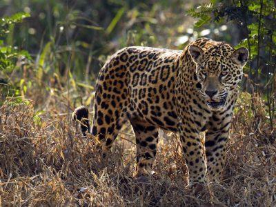 04-3 giaguaro - jaguar - panthera onca